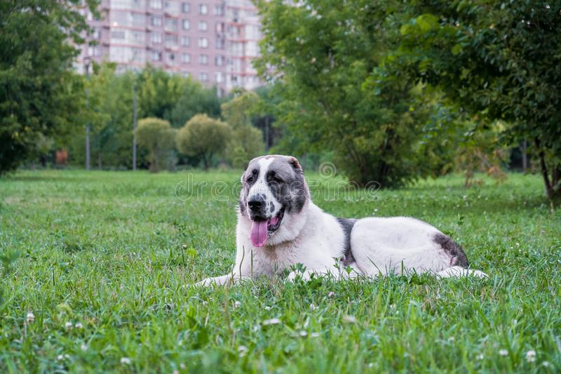 El perro de pastor asiático central, o Alabai, es una raza antigua del perro de las regiones de Asia Central fotografía de archivo