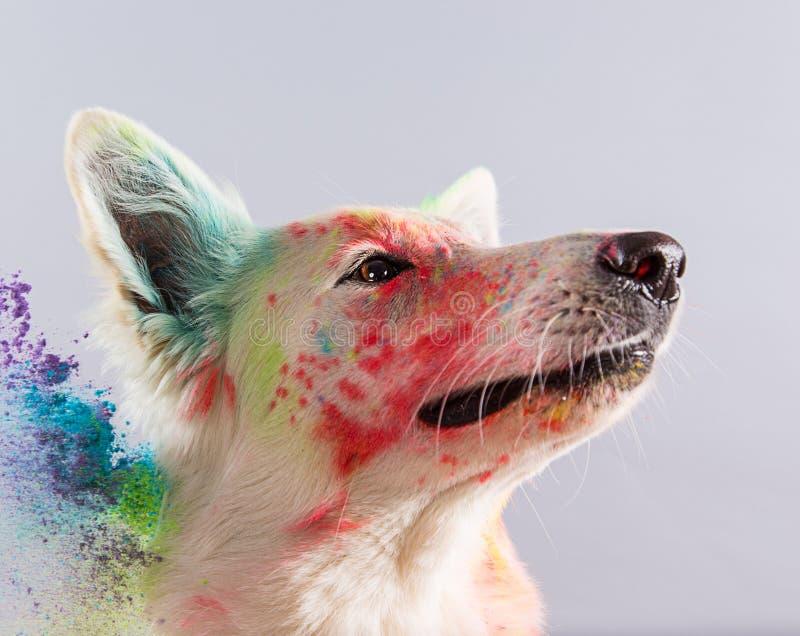 El perro de pastor suizo blanco en un estudio foto de archivo