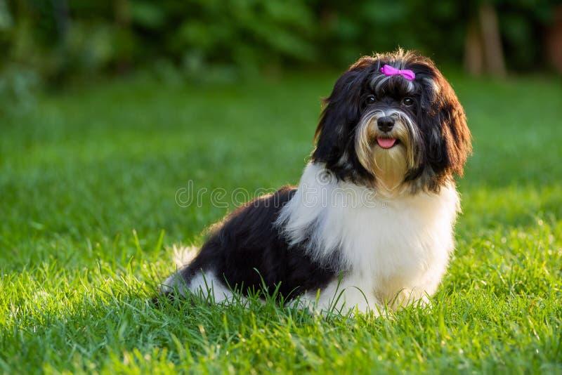 El perro de perrito havanese blanco y negro feliz se está sentando en la hierba fotos de archivo