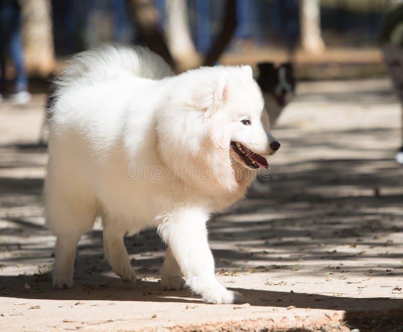 El perro de Pomerania japonés es una raza de los perros del perro de Pomerania de Japón imagenes de archivo