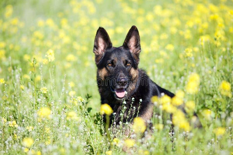 El perro de Shepard del alemán se sienta en campo de flor imagen de archivo
