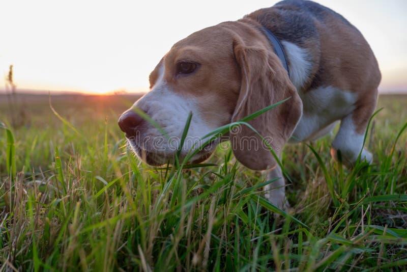 El perro del beagle come la hierba verde foto de archivo libre de regalías