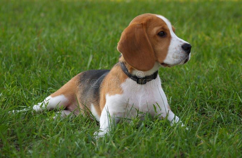 El perro del beagle/este mundo es el mío foto de archivo libre de regalías