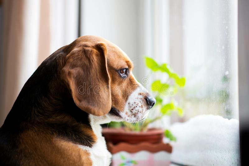 El perro del beagle se sienta en la ventana y mira hacia fuera la ventana imágenes de archivo libres de regalías