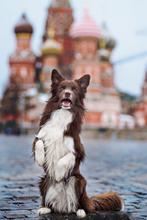 El perro del border collie entrenó para realizar trucos en imagen de archivo