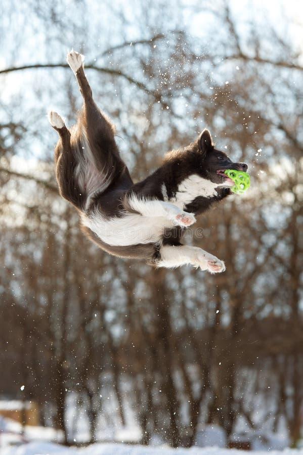 El perro del border collie salta con la bola verde fotografía de archivo
