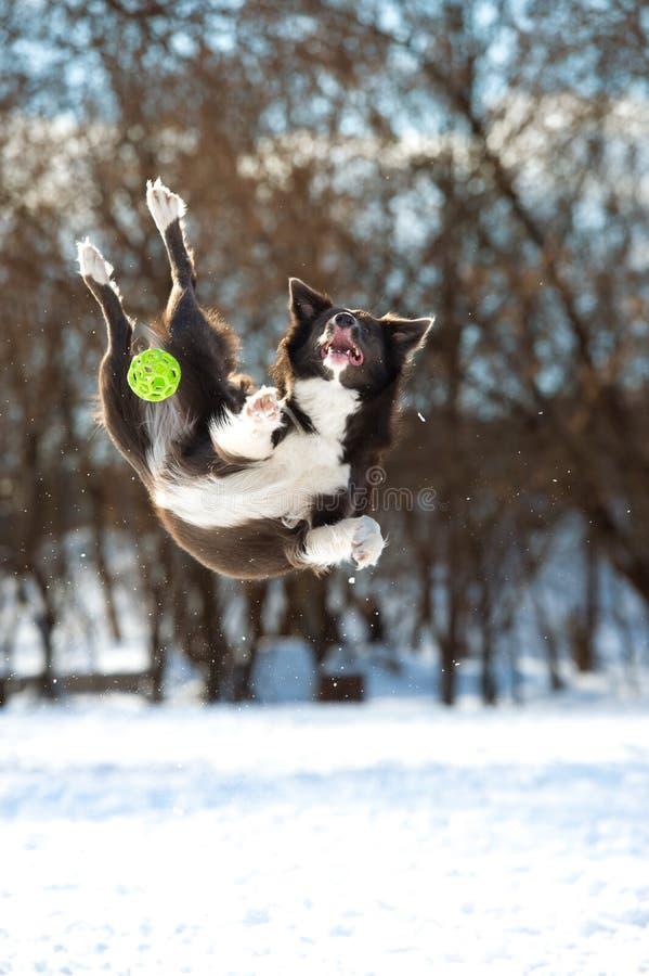 El perro del border collie salta con la bola verde imagen de archivo