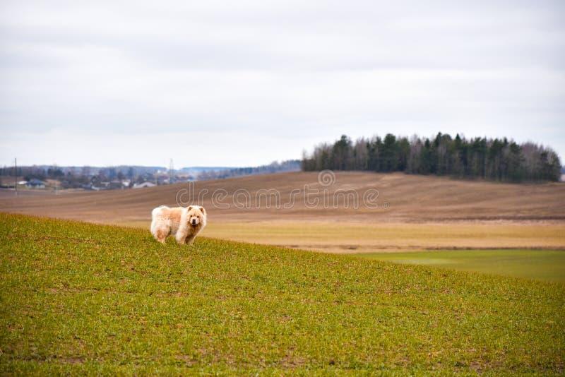 El perro del chow-chow camina en el campo de la primavera fotografía de archivo