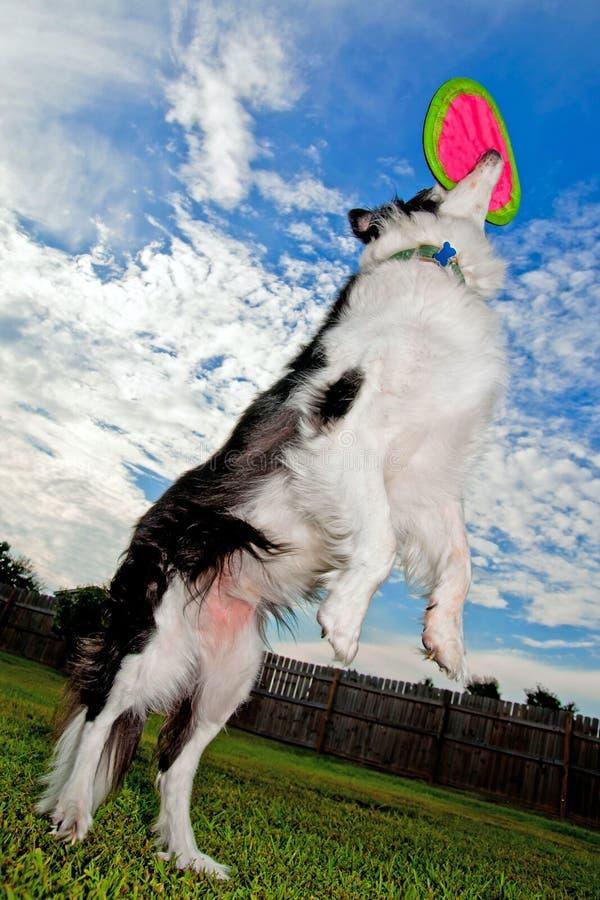 El perro del collie de frontera coge el disco fotos de archivo
