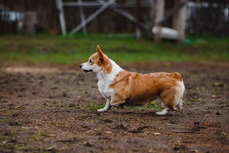 El perro del Corgi imagenes de archivo