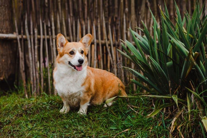 El perro del Corgi fotografía de archivo libre de regalías