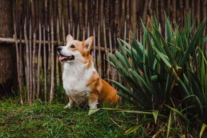 El perro del Corgi de Bush fotografía de archivo