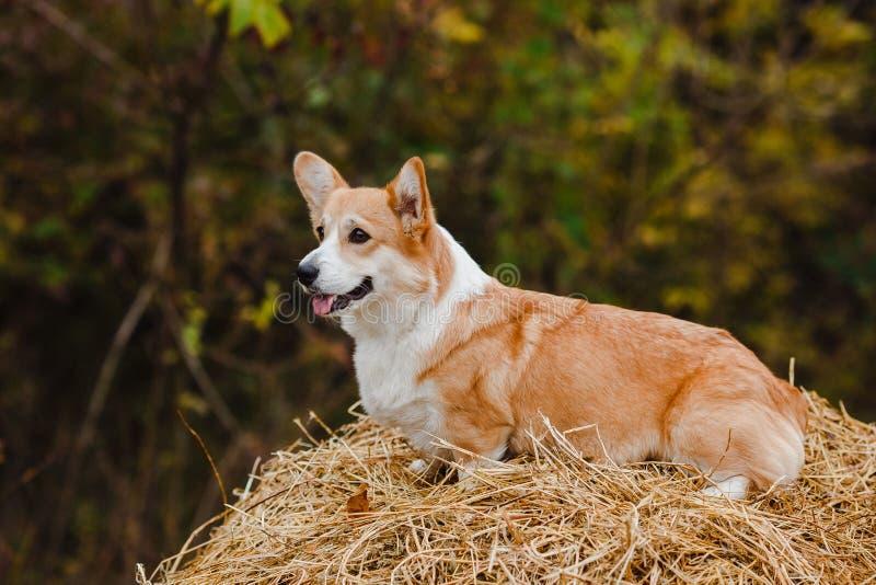 El perro del Corgi en el pajar fotos de archivo libres de regalías