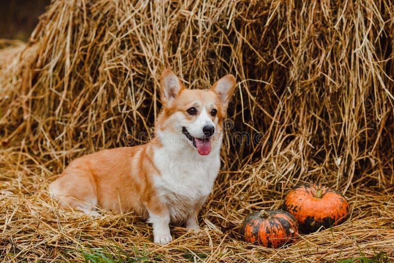 El perro del Corgi en el pajar imagen de archivo