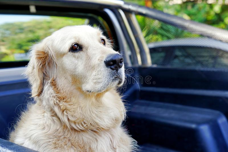 El perro del golden retriever que se sienta en la parte posterior de coge el camión foto de archivo