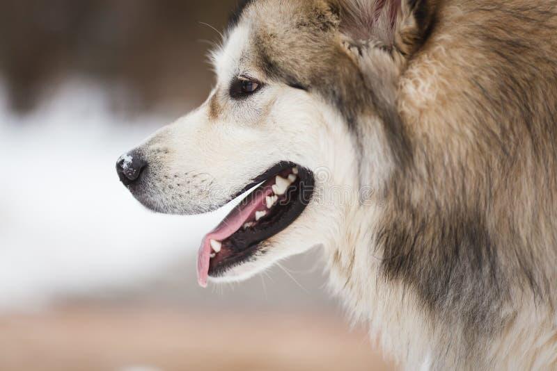 El perro del malamute foto de archivo libre de regalías