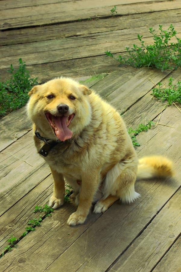 El perro del pueblo con el pelo rojo, se sienta en fondo de madera fotografía de archivo libre de regalías