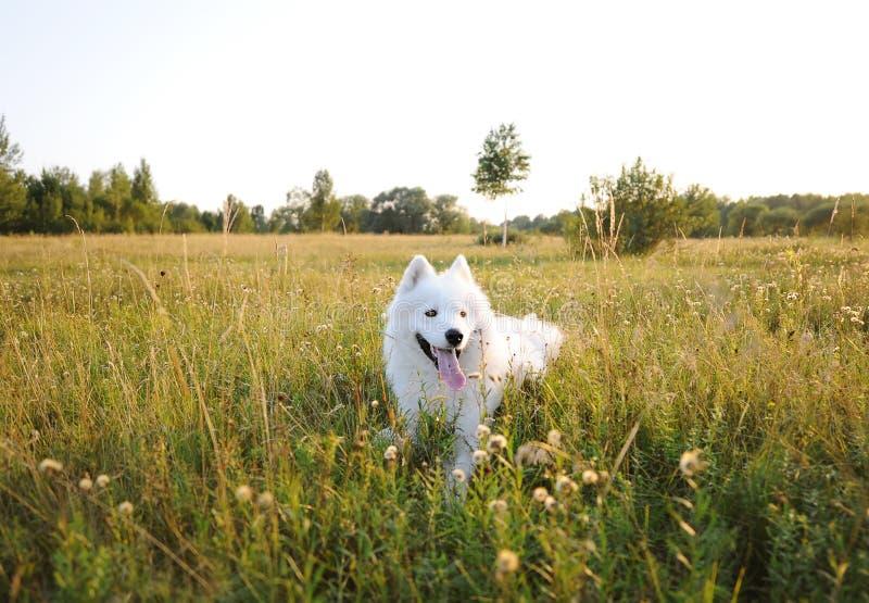 El perro del samoyedo miente sobre el prado durante la puesta del sol Perro fornido blanco en campo verde imagen de archivo libre de regalías