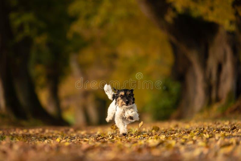 El perro del terrier de Jack Russell está corriendo en un bosque de la avenida foto de archivo libre de regalías