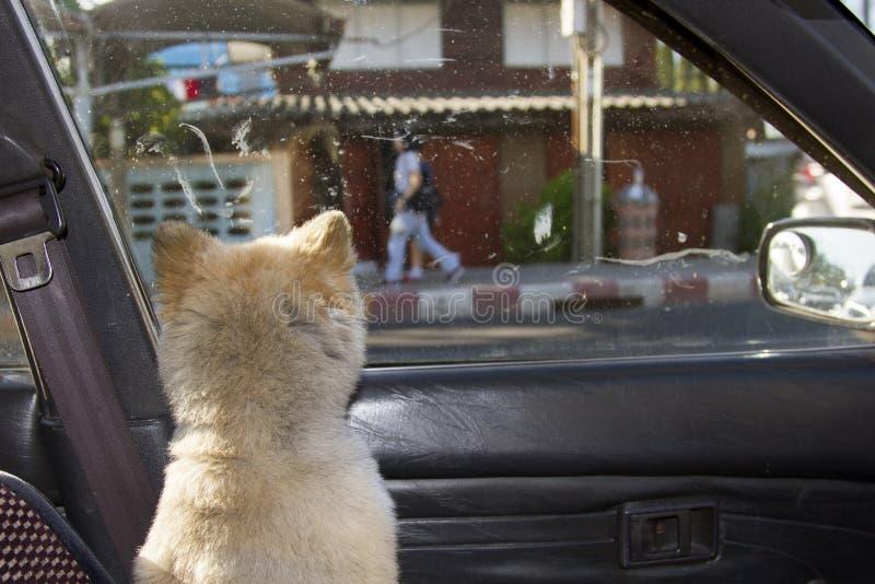 El perro dio vuelta detrás y miraba fuera de la ventanilla del coche foto de archivo