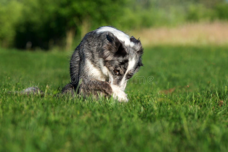 el perro divertido del border collie oculta la nariz con una pata imagenes de archivo