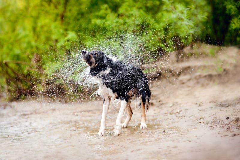 Sacudidas del perro del border collie imagen de archivo