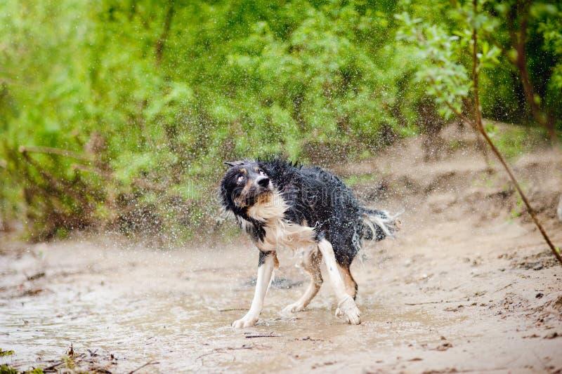 Sacudidas del perro del border collie foto de archivo