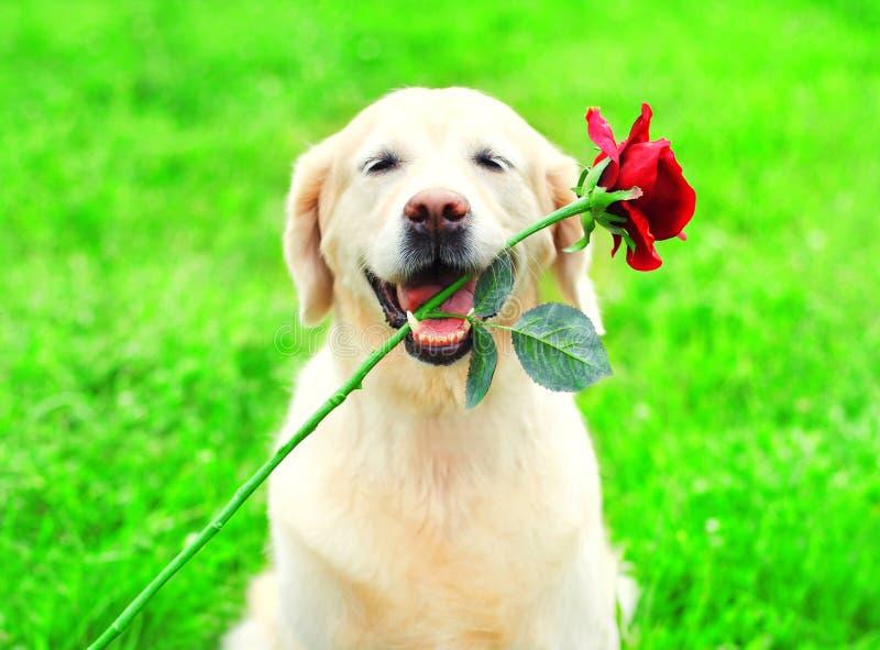 El perro divertido del golden retriever está sosteniendo una flor roja en los dientes imagen de archivo