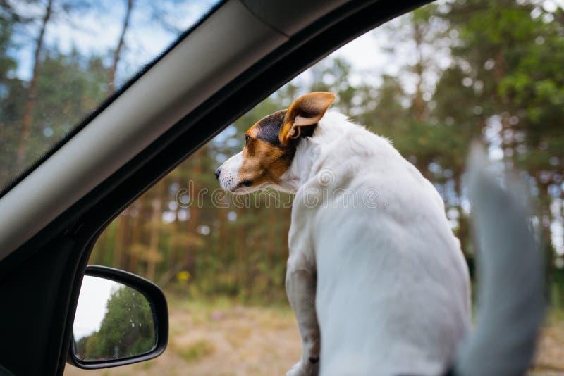 El perro divertido Jack Russell Terrier mira fuera de la ventanilla del coche Viaje en un día de verano soleado imagen de archivo libre de regalías
