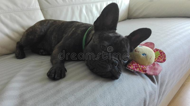 El perro dulce del dogo francés puso en el sofá con un juguete preferido fotografía de archivo