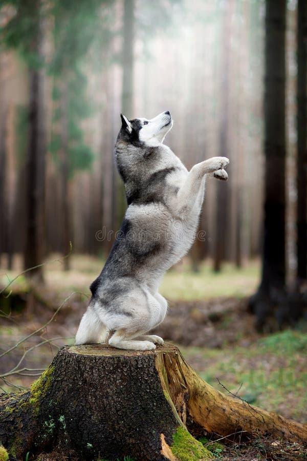 El perro en el bosque Perro esquimal siberiano imagen de archivo