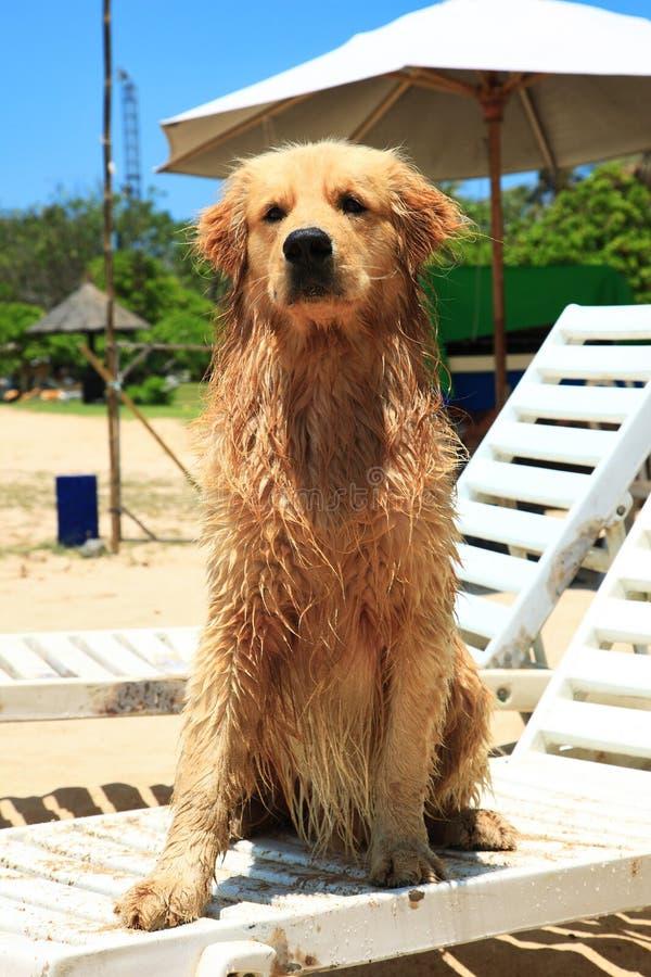 El perro en la playa del DUA de Nusa foto de archivo