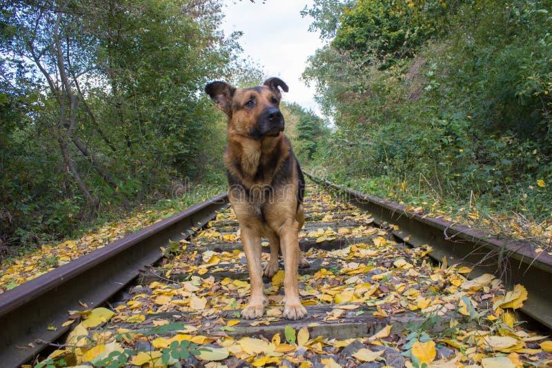 El perro en el otoño del ferrocarril, el perro de pastor se está colocando en las pistas de ferrocarril en otoño en las hojas ama imágenes de archivo libres de regalías