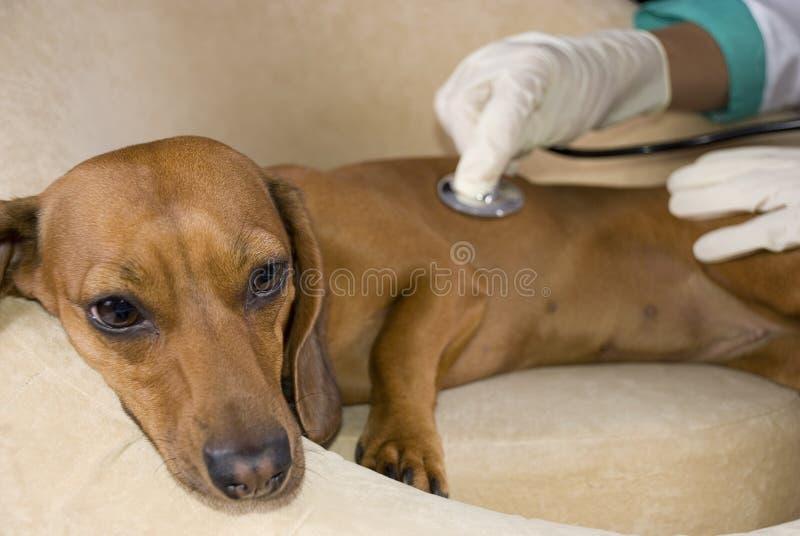 El perro enfermo fotografía de archivo