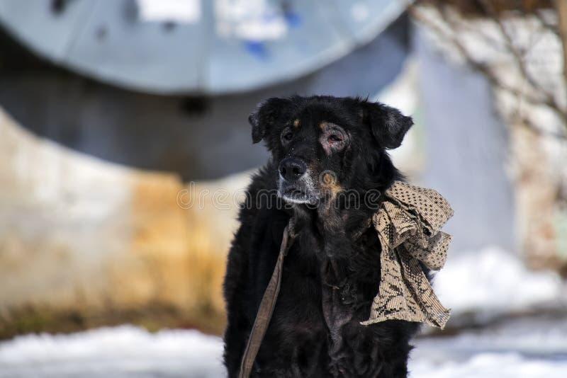 El perro enfermo viejo con un pelo lanudo y un vintage grande arquean en su cuello foto de archivo libre de regalías