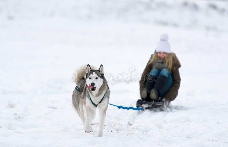El perro es afortunado en el trineo de la nieve la chica joven foto de archivo