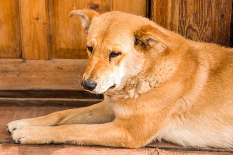 El perro es mentira triste en una madera imagenes de archivo