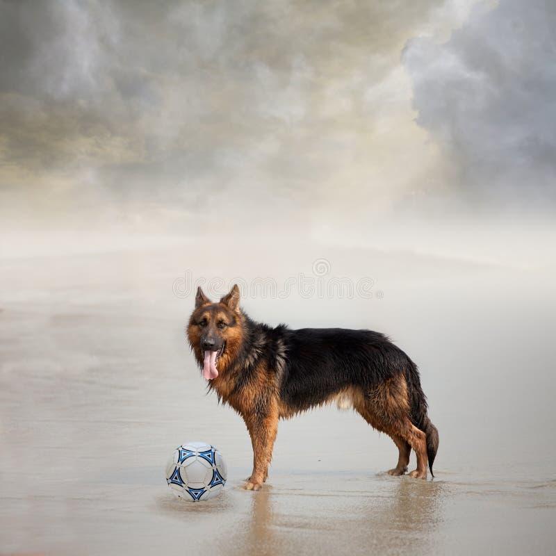 El perro espera a su amigo para jugar al balompié foto de archivo