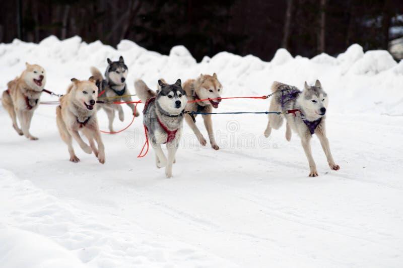 El perro esquimal y el malamute impacientes del trineo del equipo de deporte en el final del perro compiten con foto de archivo