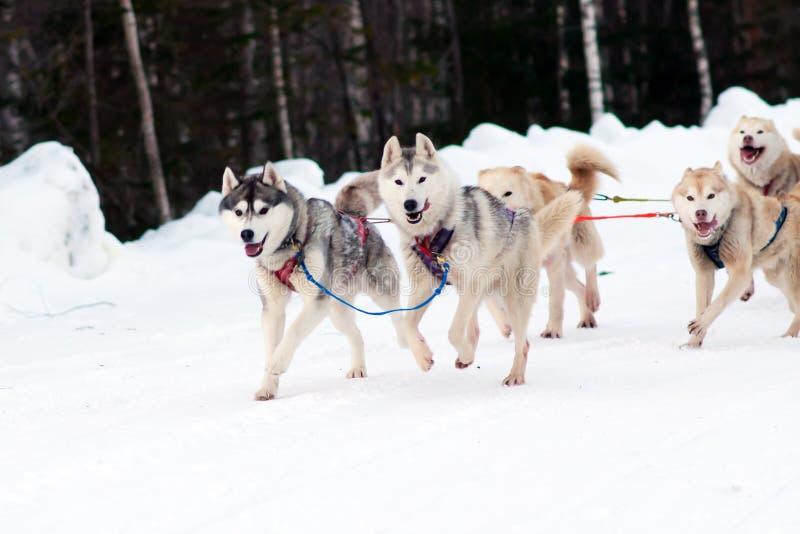 El perro esquimal y el malamute impacientes del trineo del equipo de deporte en el final del perro compiten con imagen de archivo