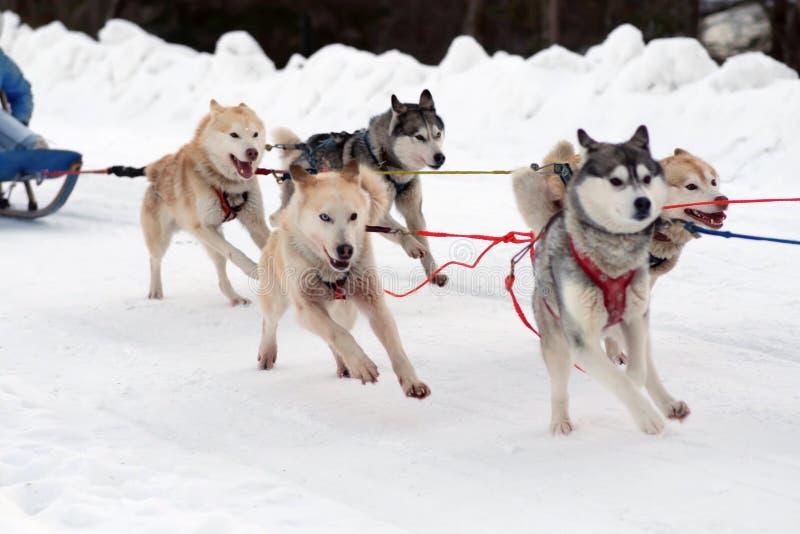 El perro esquimal y el malamute impacientes del trineo del equipo de deporte en el final del perro compiten con imagen de archivo libre de regalías