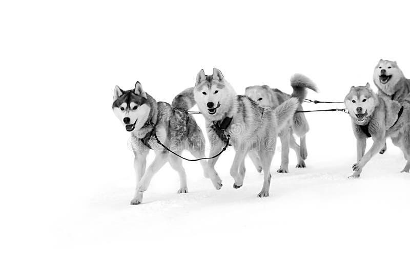 El perro esquimal y el malamute impacientes del trineo del equipo de deporte en el final del perro compiten con fotografía de archivo