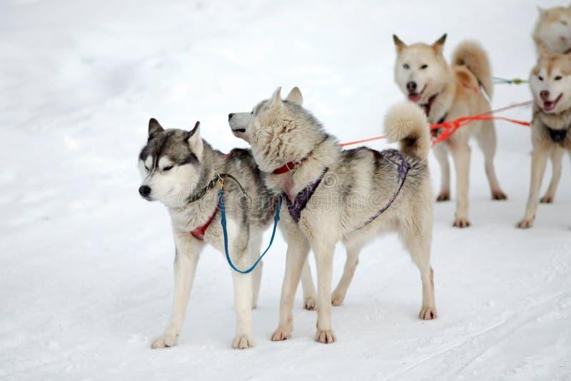 El perro esquimal y el malamute impacientes del trineo del equipo de deporte en el final del perro compiten con imagenes de archivo