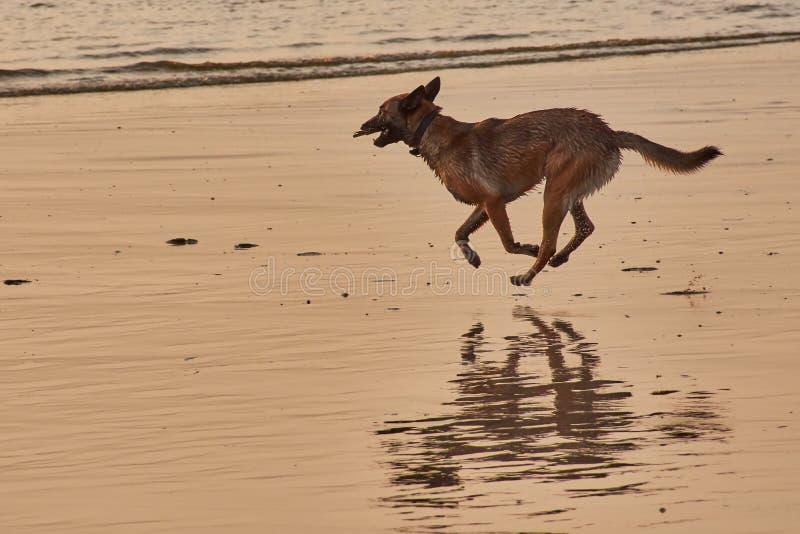 El perro está corriendo en la playa imagen de archivo