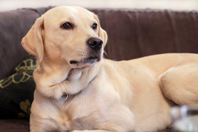 El perro está descansando en casa Perro amarillo del labrador retriever que pone en la cama Un perro hermoso goza en cama, en la  imagen de archivo