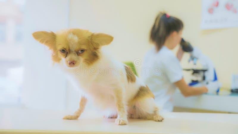 El perro está esperando los resultados de la encuesta en la clínica veterinaria imagen de archivo libre de regalías