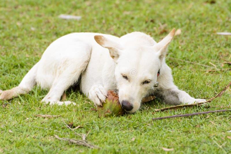 El perro está jugando con el coco que es diversión imagen de archivo