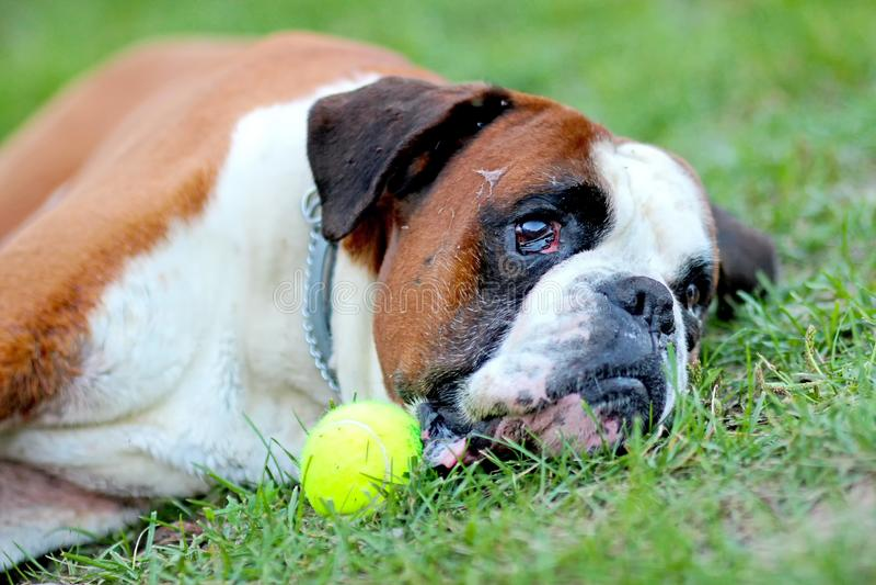 El perro está mintiendo en hierba del gree en parque con la pelota de tenis La raza es boxeador alemán imágenes de archivo libres de regalías
