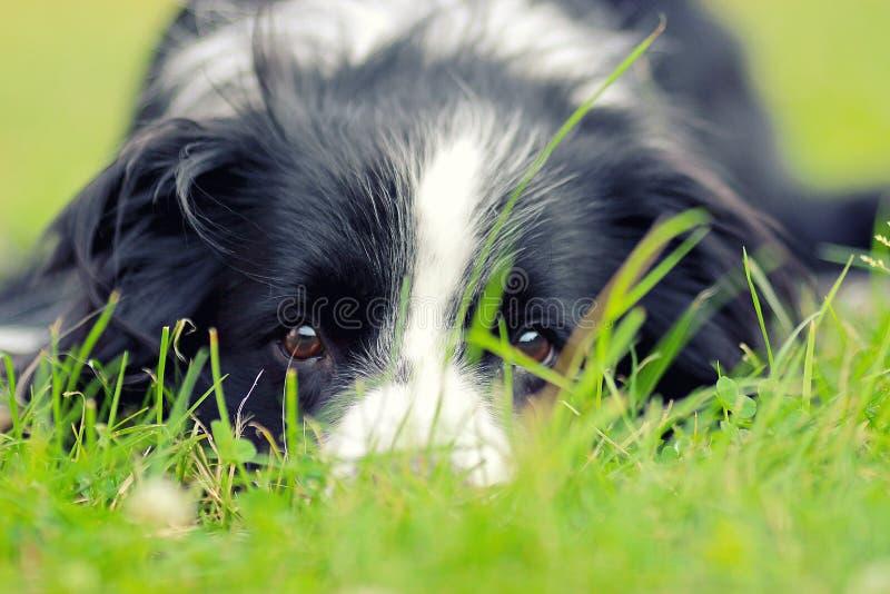 El perro está mintiendo en hierba en parque La raza es border collie El fondo es verde Él tiene ojos marrones hermosos imagenes de archivo
