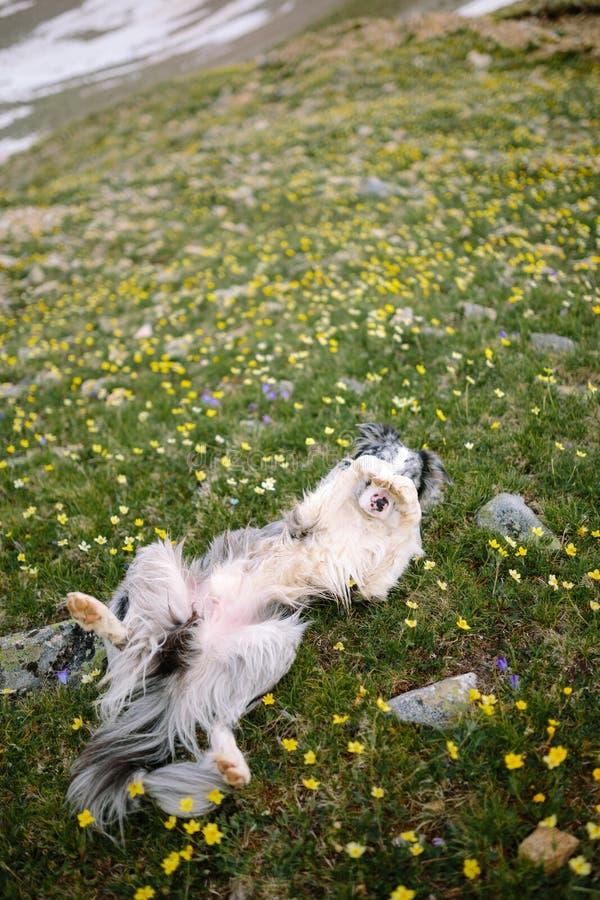 El perro está mintiendo en un campo de flor foto de archivo libre de regalías